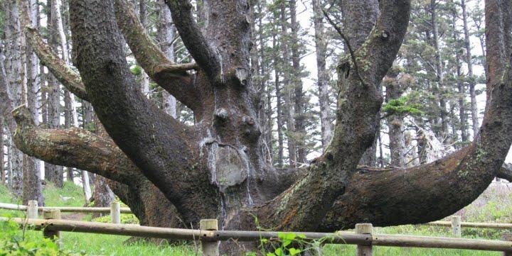 El árbol pulpo de Oregón