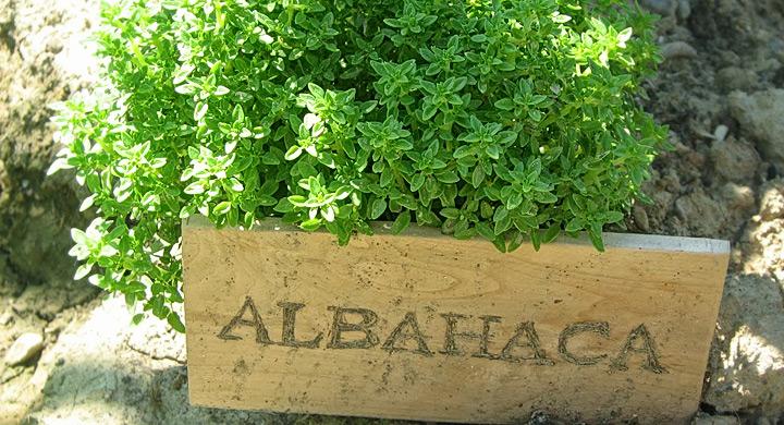 Albahaca hierba