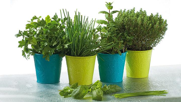 Cinco plantas arom ticas contra los mosquitos - Plantas ahuyenta mosquitos ...