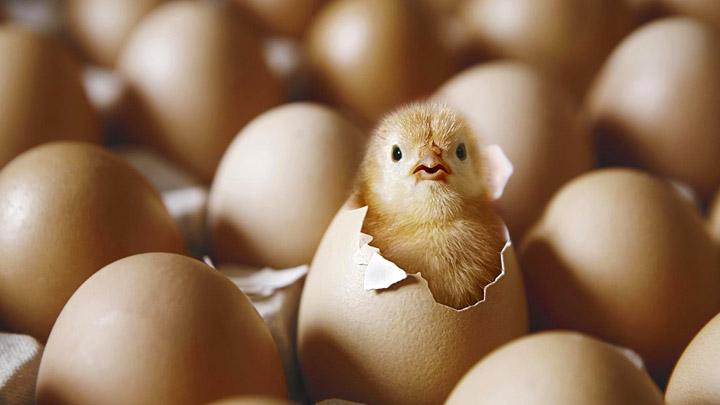 Nacimiento-de-un-pollito