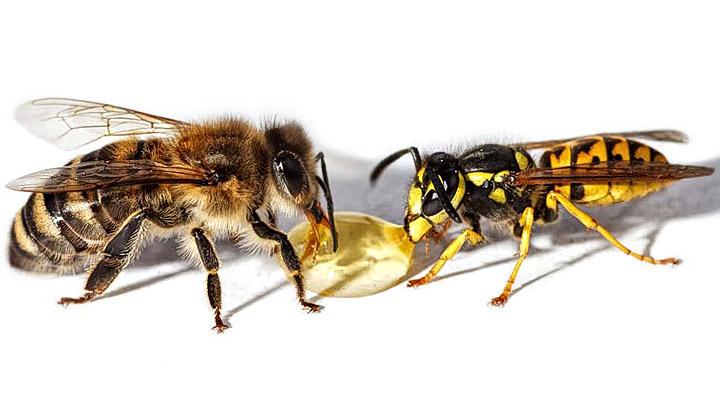 Avispa-y-abeja