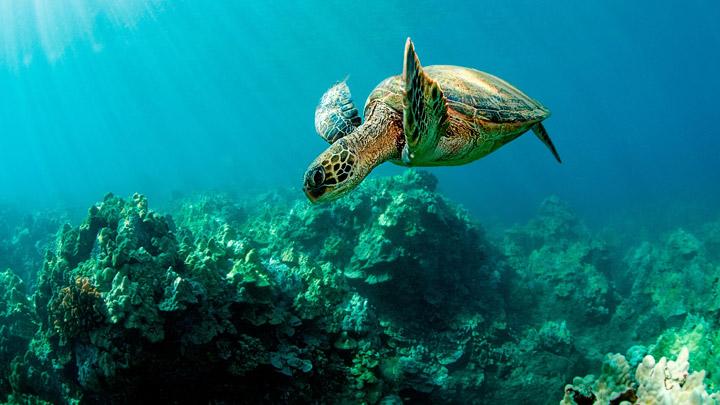 Tortuga-nadando