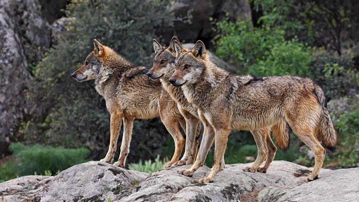 Lobos-ibericos