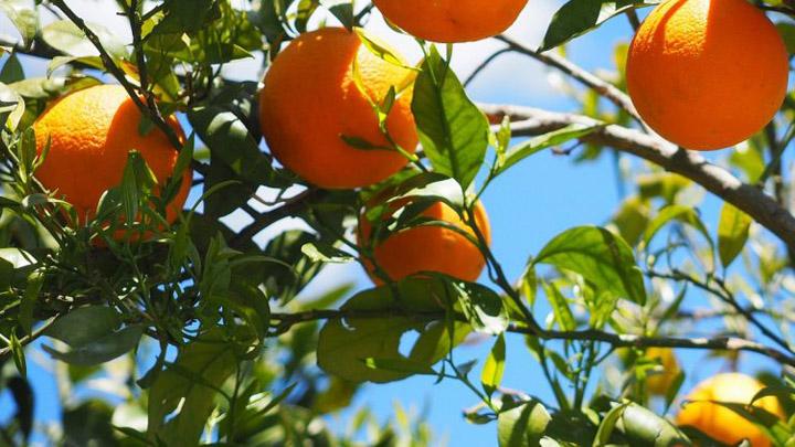 naranjas-biocombustible