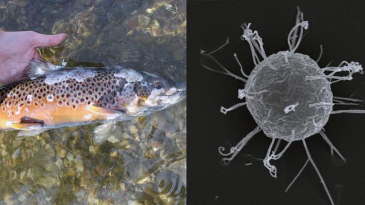 alga-carnivora