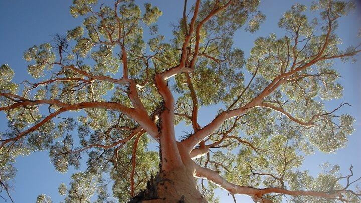 arbol-eucaliptoEl