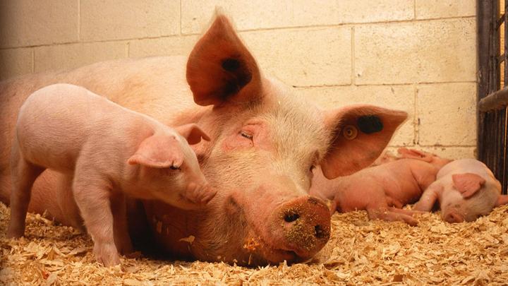 cerdos-purines