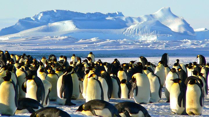 pinguino-emperador